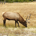 Elk Grazing Royalty Free Stock Images - 2046389
