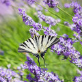 Butterfly Sitting On Flower Lavender Stock Images - 20411534
