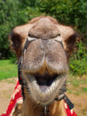 The Head Of A Young Camel Stock Images - 20445894