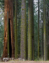 Sequoia National Forest Royalty Free Stock Image - 20451036