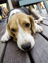 Beagle Dog Laying Look Sleepy Stock Photos - 20461583