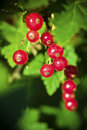 Red Currant Royalty Free Stock Image - 20471946