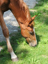 Close Up Of Brown Foal Eating Grass Stock Photo - 20487030