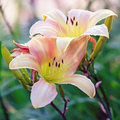 Day Lilies Royalty Free Stock Photo - 20498275