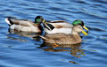 Ducks Royalty Free Stock Images - 2053289