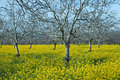 Mustard Field Stock Photography - 2053982