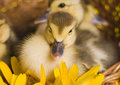 Easter Ducks Royalty Free Stock Photos - 2057858