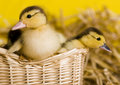 Easter Ducks Stock Photography - 2057902