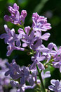 Bush Of Lilac In Early Spring Royalty Free Stock Photography - 2058687