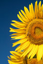 Sunflower And Bee Stock Photography - 20515322