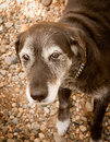 Old Dog With Grey Hair Royalty Free Stock Image - 20520256