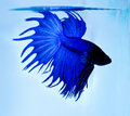 Siamese Fighting Fish Royalty Free Stock Photography - 20521437