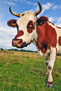 Cow On A Summer Pasture Stock Photo - 20546020