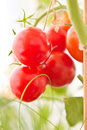 Red Tomatoes Royalty Free Stock Image - 20552206