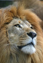 Male African Lion Closeup Stock Photography - 20555942