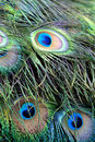 Close Up Of Peacock Feathers. Stock Photography - 20558142