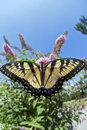 Eastern Tiger Swallowtail (Papilio Glaucus) Stock Images - 20565534