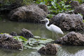 Great White Heron Stock Images - 20594074