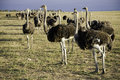 Ostriches In South Africa Stock Photography - 2067322