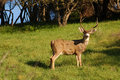Blactail Buck Stock Images - 2069734