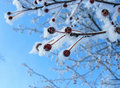 Frosty Rennets Stock Photography - 20605552