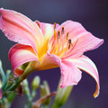 Pink Day Lily Stock Photography - 20605982