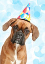 German Boxer Puppy In Party Cone Stock Photos - 20607773