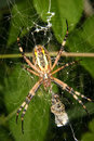 Wasp Spider (Argiope Bruennichi) Stock Photos - 20630383