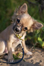 Funny Chihuahua Puppy Tilting Head Sitting On Sand Royalty Free Stock Images - 20661629