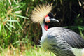 Crowned Crane Royalty Free Stock Photos - 20689868