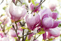Pink Magnolia Stock Images - 20695264