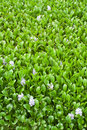 Water Hyacinth With Flower Background Royalty Free Stock Images - 20714719