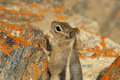 Curious Ground Squirrel In The Grand Canyon Royalty Free Stock Images - 20714879