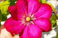 Pink Clematis Flower Royalty Free Stock Images - 20715379