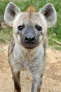Spotted Hyena Stock Image - 20738111