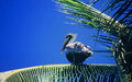 Pelican On Palm Tree Stock Photography - 20741502