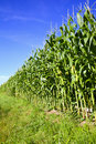 Corn Field And Blue Sky Stock Photo - 20743840