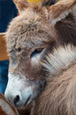 Cute Miniature Donkey Stock Image - 20746091