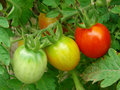 Bunch Of Tomatoes Stock Photos - 20789113