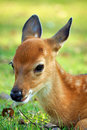 Young Deer Stock Images - 20793254