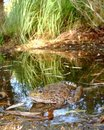 Chiricahuan Leopard Frog In Desert Stream Royalty Free Stock Images - 20797549