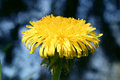 Yellow Blossom Royalty Free Stock Image - 2082026