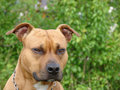 American Staffordshire Terrier Stock Photos - 2083053