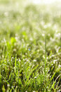 Green Grass In A Dew Stock Image - 20810441