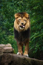 African  Lion Royalty Free Stock Photography - 20820987