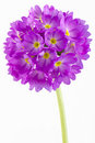 Primula Stock Photography - 20832832