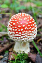 Amanita Muscaria Stock Images - 20837554
