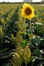 Millet And Sunflower Royalty Free Stock Photo - 20847215