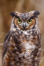 Great Horned Owl Portrait Stock Images - 20852454