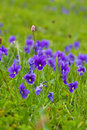 Plant Of Wild Violet Stock Photography - 20852692